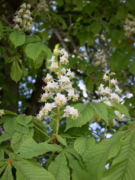 Horse Chestnut flower essence for uplifting physical strength