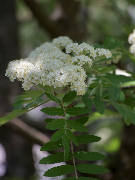 Mountain Ash Flower Essence - Pacific Northwest Essences