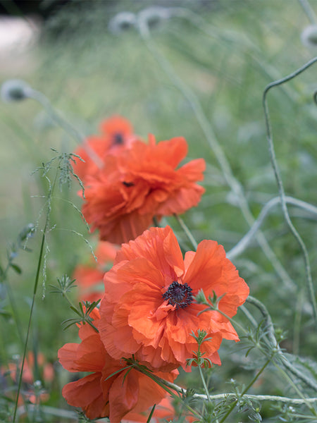 Oriental Poppy flower essence for intimacy problems and being shy