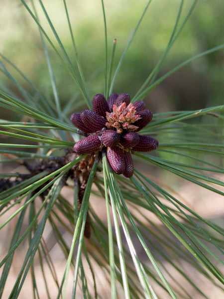 Ponderosa Pine Flower Essence for motherhood