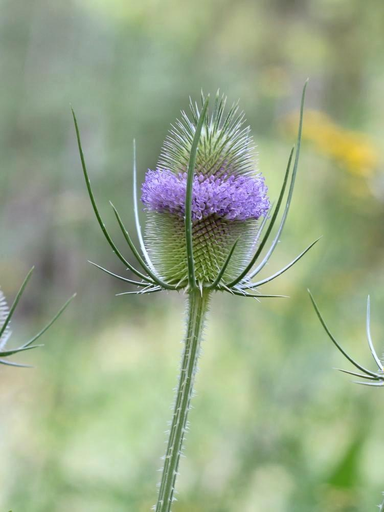 Teasel Flower Essence