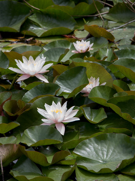 Water Lily flower essence for difficult family relationships
