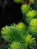 Sitka Spruce Green tips Pollen Allergies Aura Mist flower essence