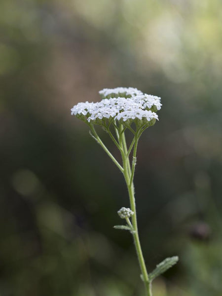 White Yarrow Flower Essence