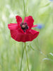Red Poppy Flower Essence for lacking confidence and weak