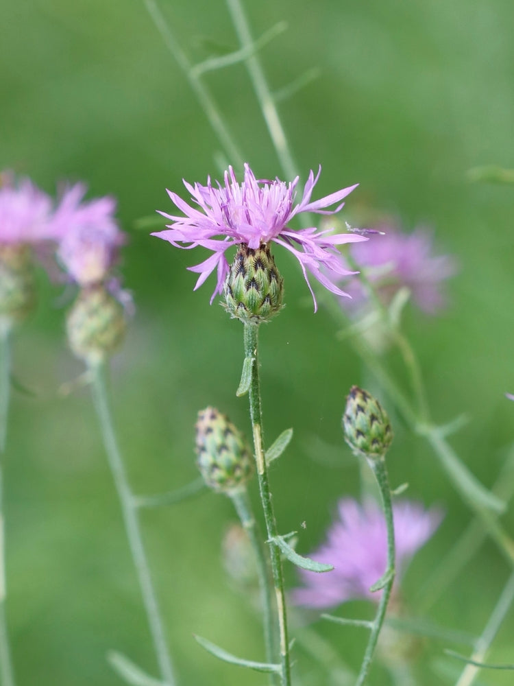 Spotted Knapweed Flower Essence for feeling limited and creatively stuck