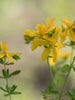 St. John's Wort Flower Essence for being vulnerable to negative energies