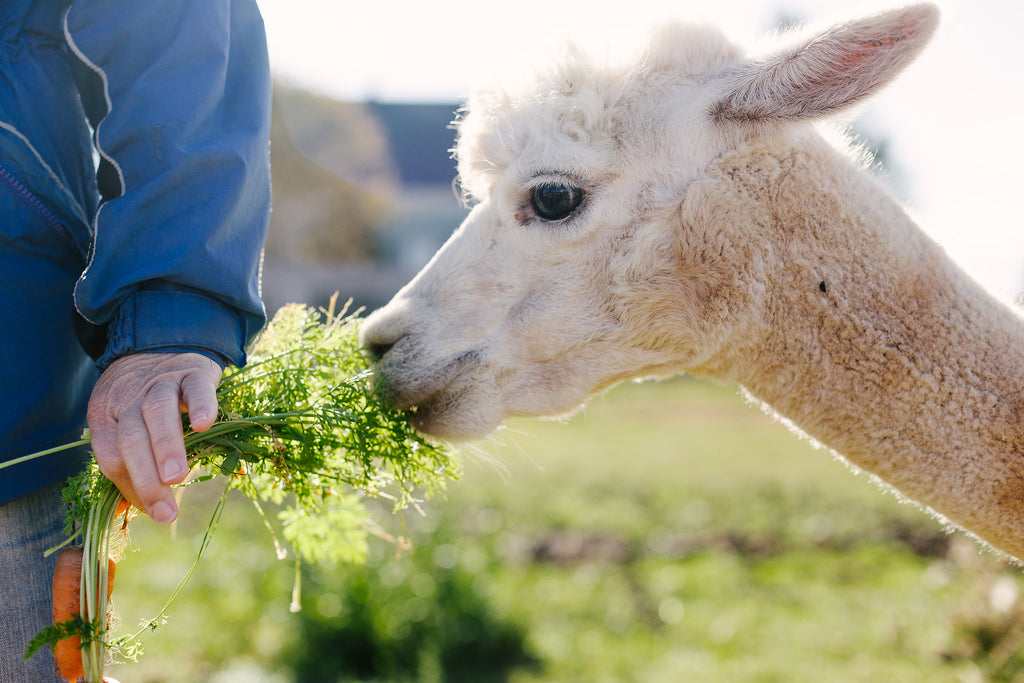 Five things you'll want to know before bringing alpacas home