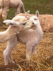 alpaca mother and baby in Prince Edward Island