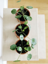 Pilea Peperomioides, terra-cotta potted 3.5""