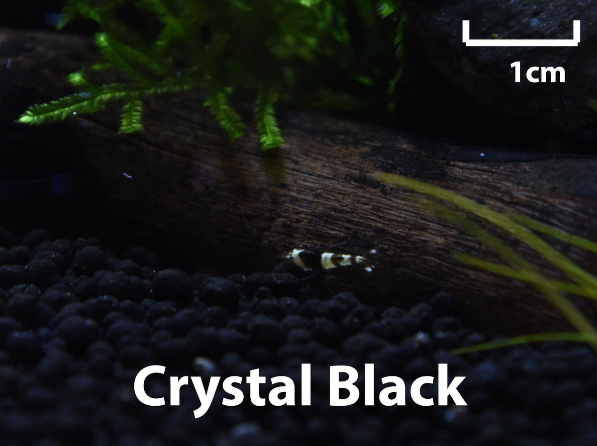 Crystal Black Shrimp (Caridina Cantonensis)-Livestock-Sydney Aquascapes