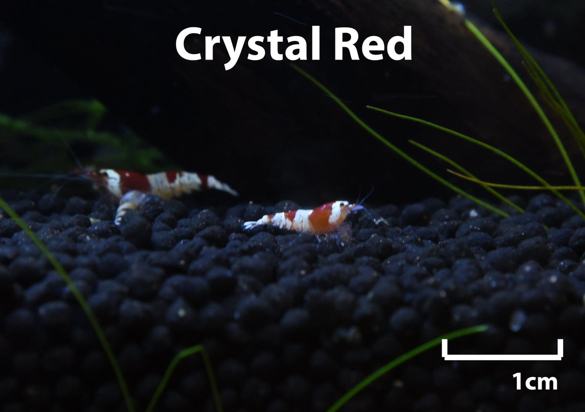 Crystal Red Shrimp (Caridina Cantonensis)-Livestock-Sydney Aquascapes