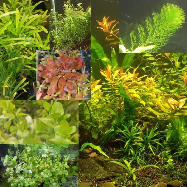 Random Value Plant Combo 15+ plants-Plants-Sydney Aquascapes