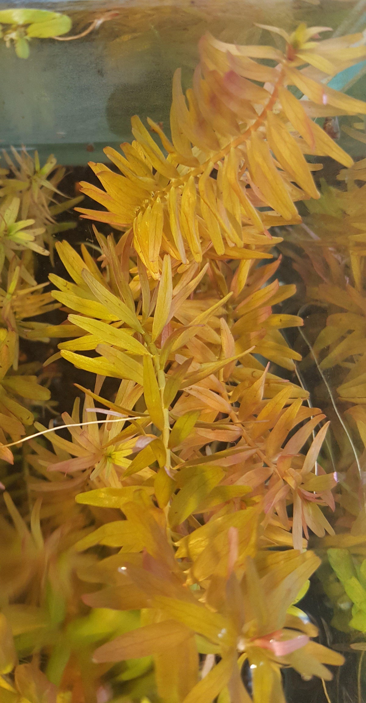 Submerged Rotala Indica Bunch-Plants-Sydney Aquascapes