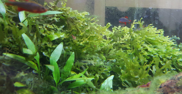 Subwassertang Moss-Plants-Sydney Aquascapes