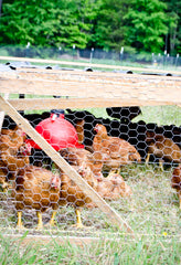 Chickens inside a chicken tractor