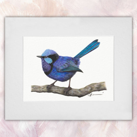 Splendid Fairywren (Male)