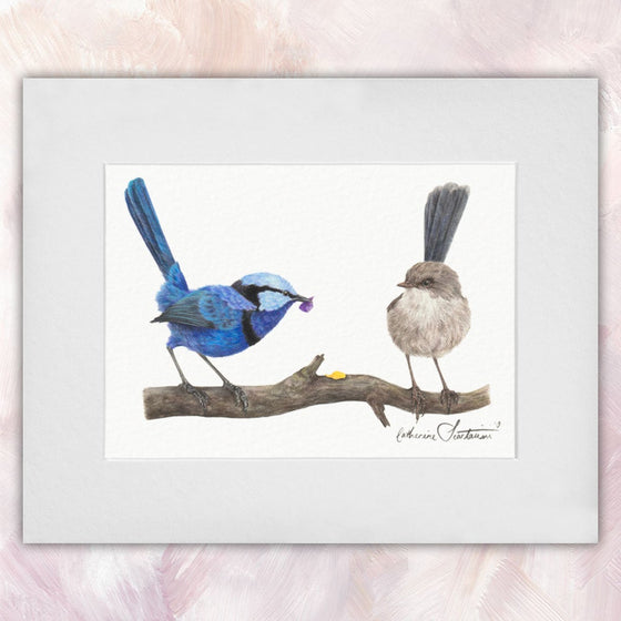 Splendid Fairywren Courting