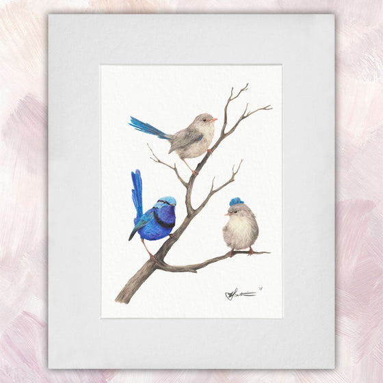Splendid Fairywren Trio