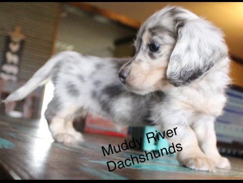 Blue and Cream Dachshunds