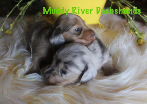Dilute Dachshund Miniatures For sale