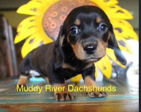 Black and tan smooth dachshund puppies