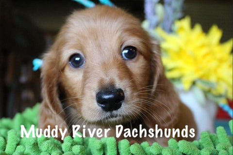 Red Miniature dachshunds puppies