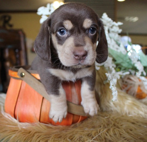 shorthair chocolate and cream dachshund for sale