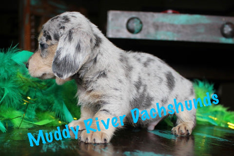 black and cream shorthair dachshunds akc muddy river