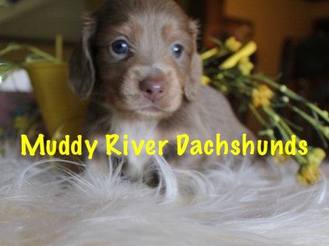Isabella and Tan Longhair Dachshunds Muddy River