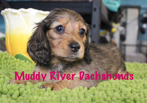 shaded red dachshunds texas akc