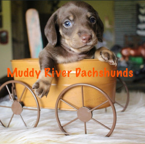 Chocolate and Tan Shorthair Dachshund puppies Muddy River Dachshunds