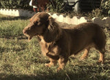 AKC Breeder of Miniature Dachshund Puppies in Texas Muddy River Dachshunds