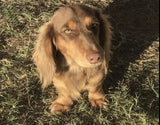 AKC breeder of longhair miniature dachshunds - shipping available