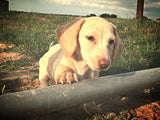 Shorthair puppies for sale Miniature Dachshunds south texas