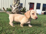 Cute pups Weenie dog puppies for sale texas