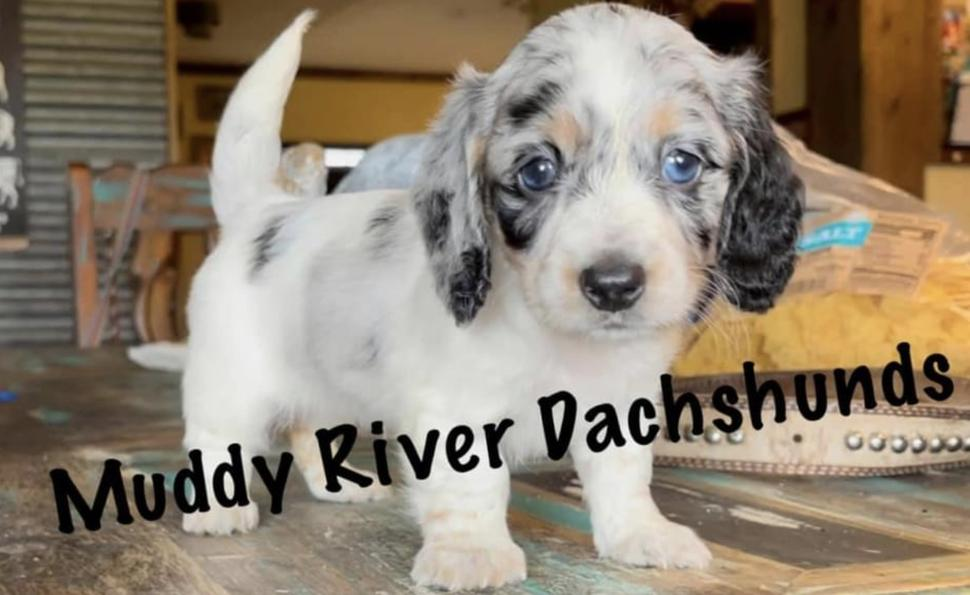 Miniature Dachshund Puppies of South and Central Texas