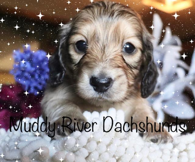 Isabella and Tan Dapple Miniature Dachshund Puppies Texas