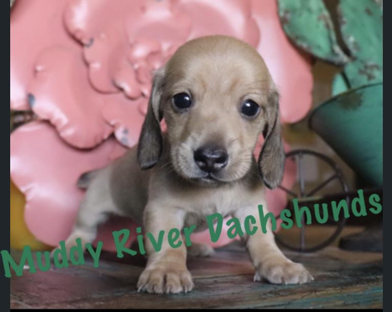 Miniature Dachshund Puppies for sale in Texas