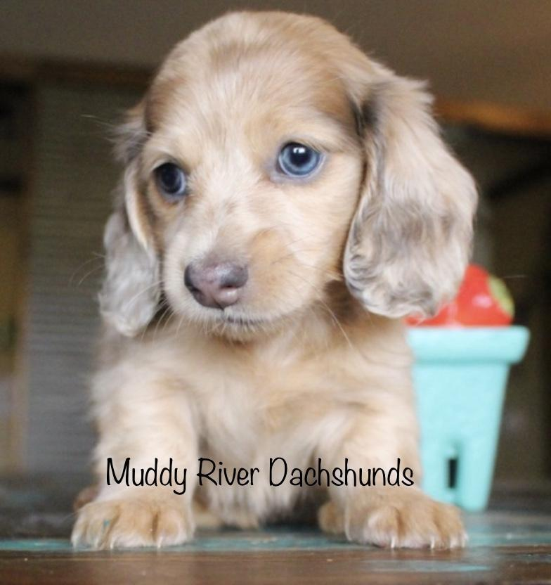 Blue based red Dapple Longhair Miniature Dachshund Muddy River