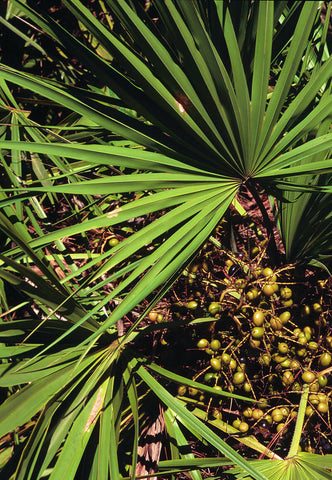 Saw Palmetto - a natural way to reduce DHT - Men's Hair Fitness