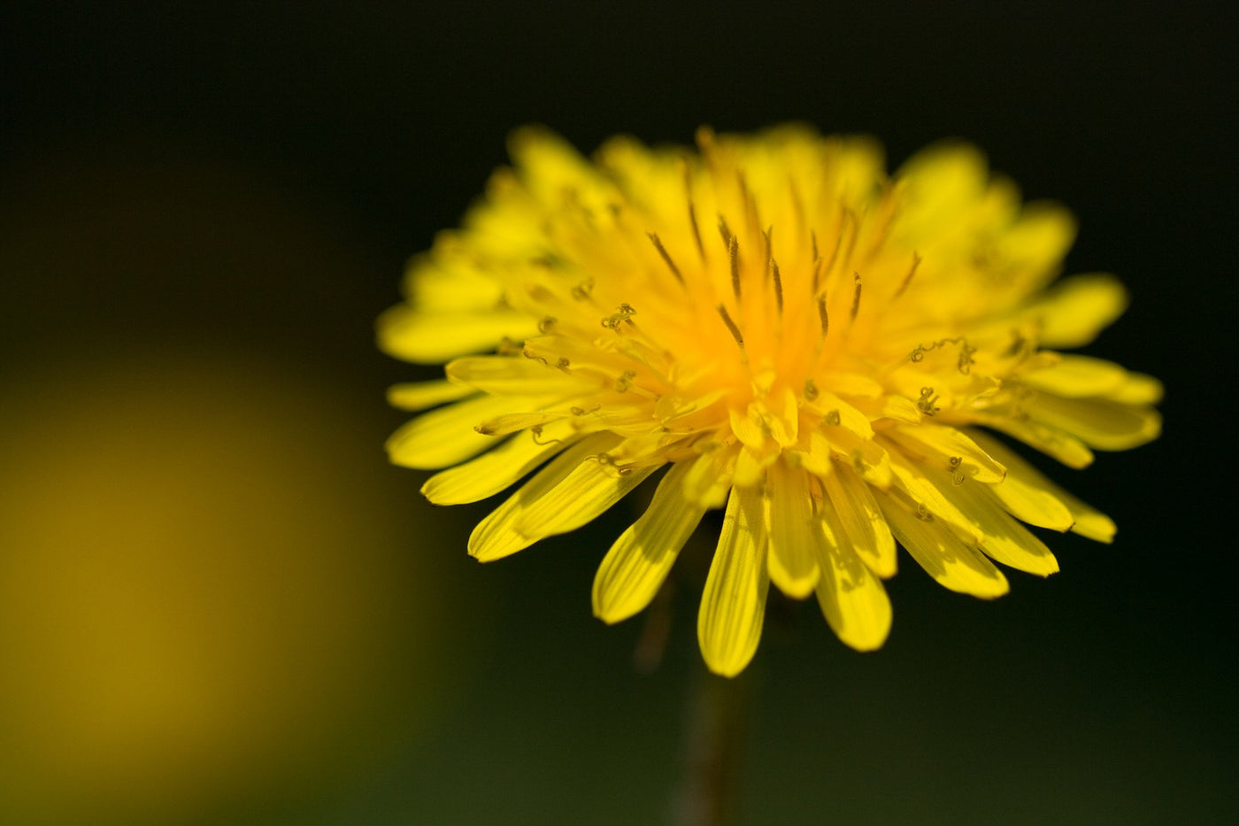Weed Of The Month The Dandelion Bee Built