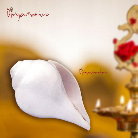 Divya Mantra Original Natural Pure Traditional Vamavarti Blowing Sacred Holy Right Handed Shankh/Shankha Horn 6 Inch Conch Shell Musical Om Sound (Bajnewala) For Hindu Puja, Meditation, Rituals-White - Divya Mantra