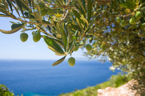 olives on many branches