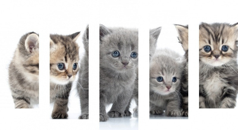MacJac Art 5 Panel CANVAS Kittens Theme Wall Art Photography Prints Model 5PC-AL-41654