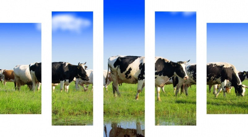 MacJac Art 5 Panel CANVAS Cows Theme Wall Art Photography Prints Model 5PC-AL-41759