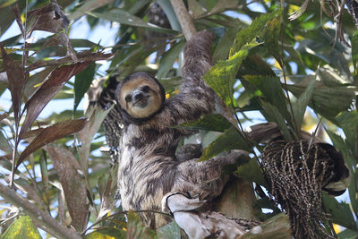 The Pale-Throated Sloth: Species Facts & Characteristics