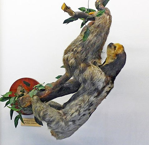 maned sloth climbing tree
