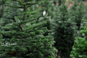 Fresh-Cut Christmas Trees Now Available!