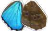 Butterfly Wing Earrings- Blue Morpho Menelaus